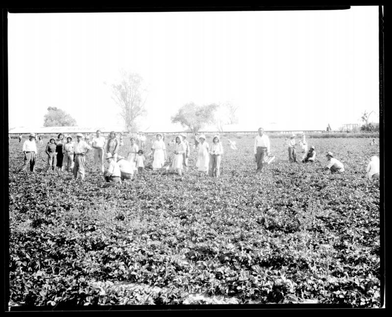 Japanese workers in strawberry field 1931