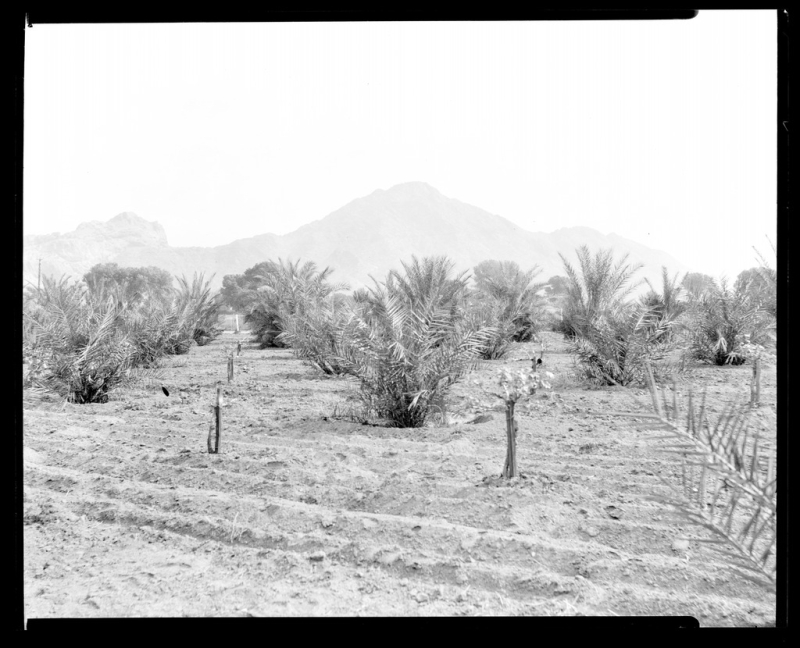 Date palm orchard 56 St Indian Sch 1927