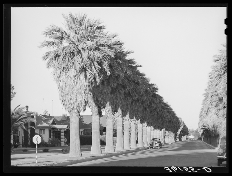 Palm lined street 1940