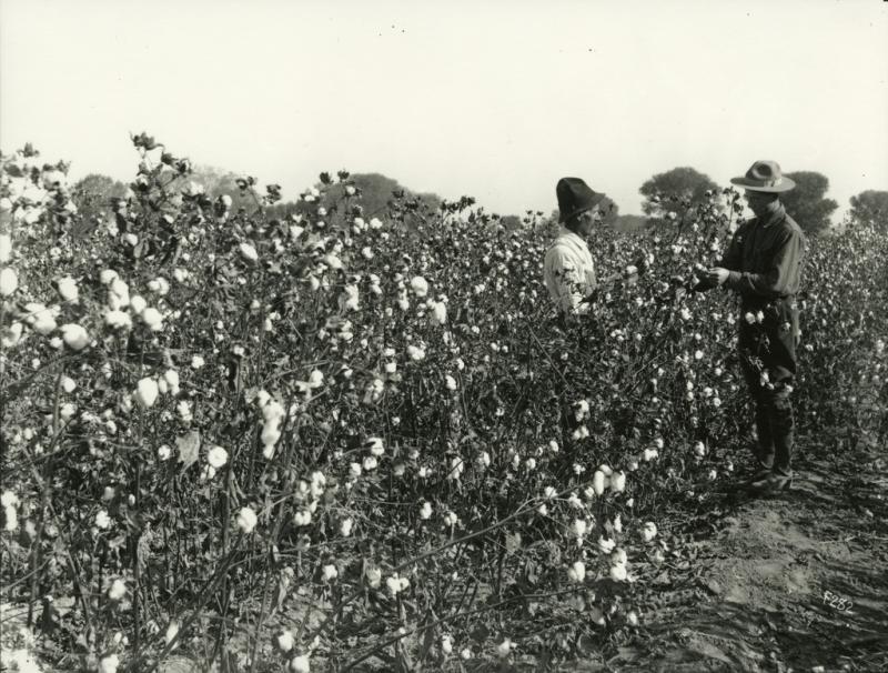 Cotton field 1920