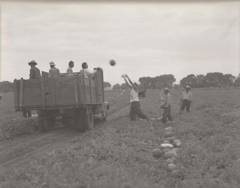 Watermellon harvest