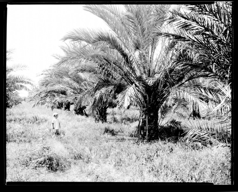 Child in date palm orchard 1927