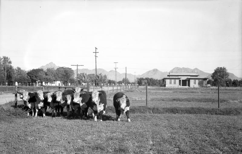 Cattle_cows_Squaw_Peak_1940s(1)