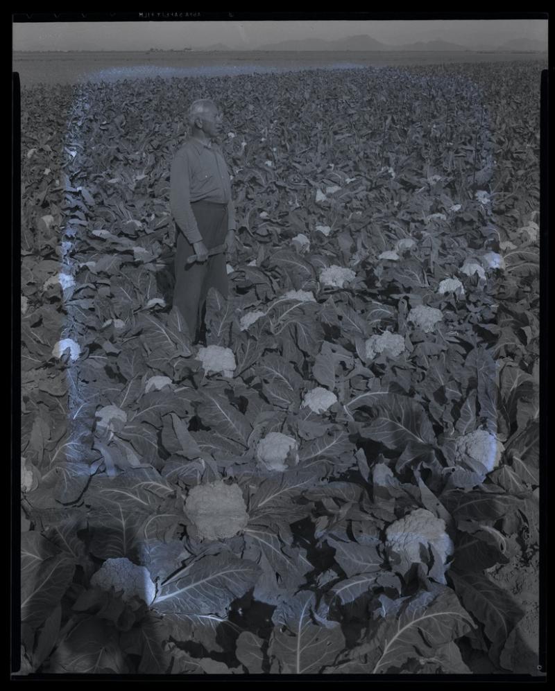 Cauliflower Field 1942