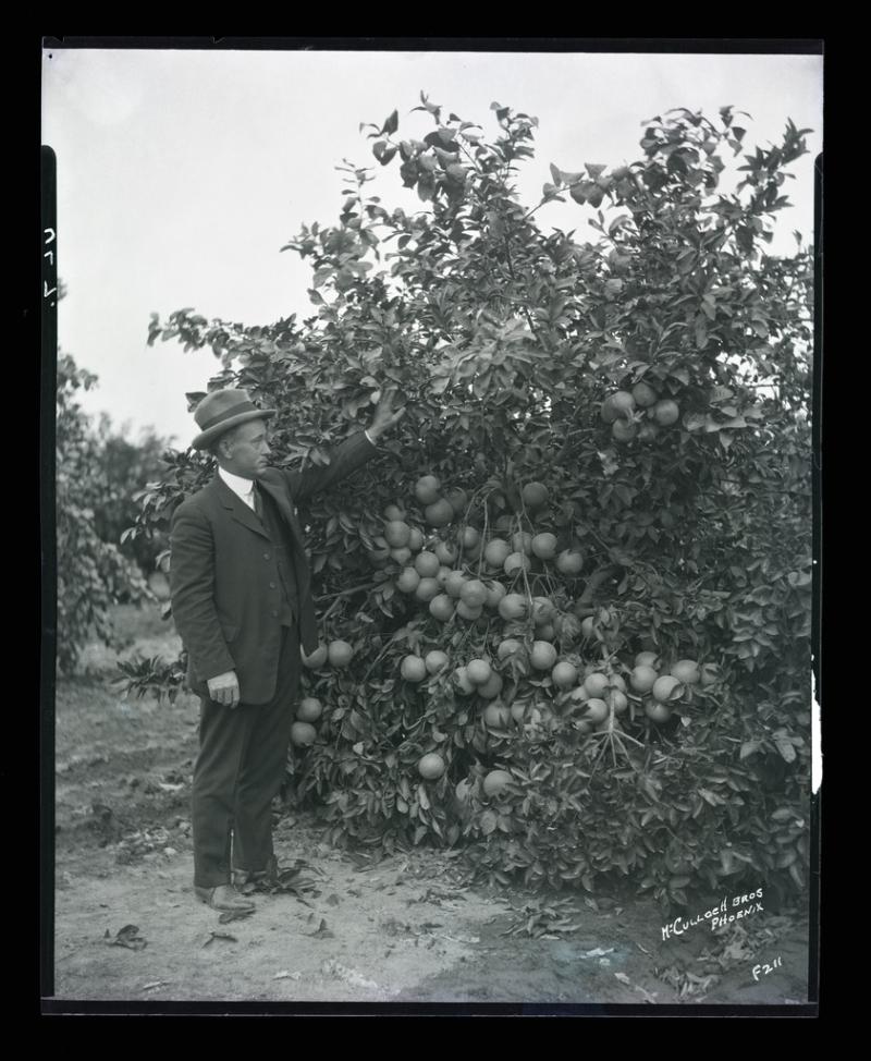 Grapefruit trees