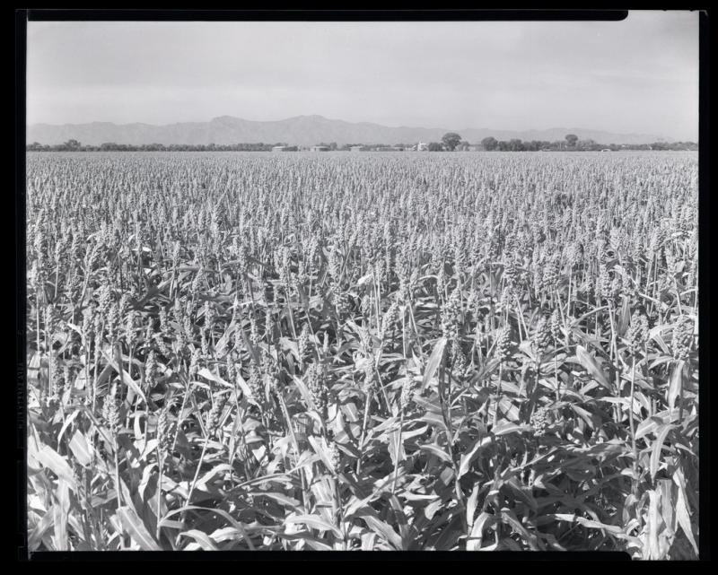 Hegari field
